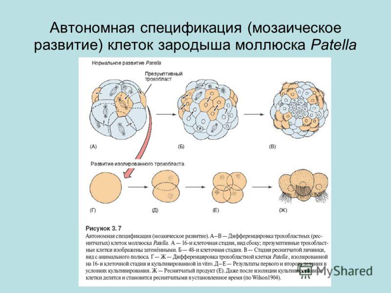 Автономная спецификация (мозаическое развитие) клеток зародыша моллюска Patella