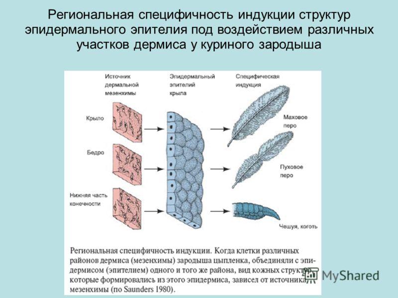 Региональная специфичность индукции структур эпидермального эпителия под воздействием различных участков дермиса у куриного зародыша
