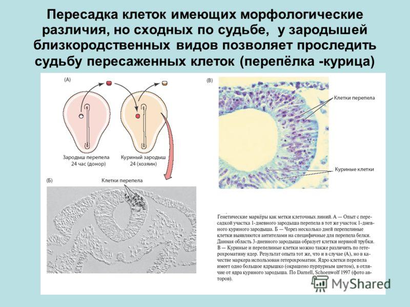 Пересадка клеток имеющих морфологические различия, но сходных по судьбе, у зародышей близкородственных видов позволяет проследить судьбу пересаженных клеток (перепёлка -курица)