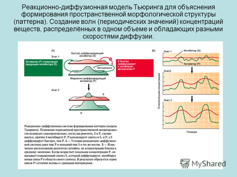 Реакционно-диффузионная модель Тьюринга для объяснения формирования пространственной морфологической структуры (паттерна). Создание волн (периодических значений) концентраций веществ, распределённых в одном объеме и обладающих разными скоростями дифф