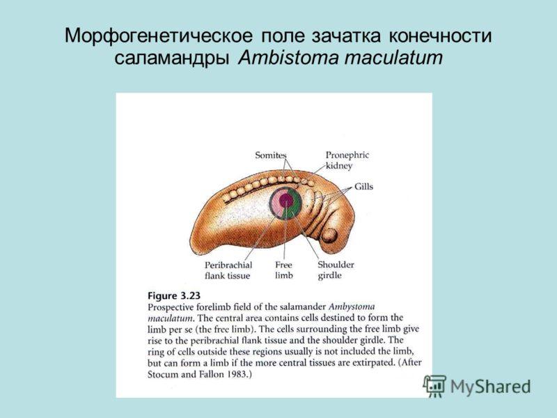 Морфогенетическое поле зачатка конечности саламандры Ambistoma maculatum