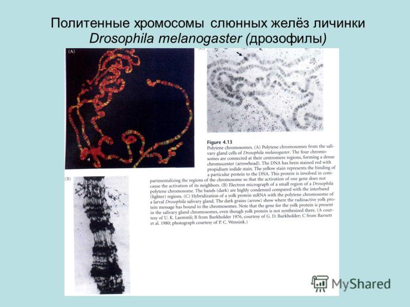 Политенные хромосомы слюнных желёз личинки Drosophila melanogaster (дрозофилы)