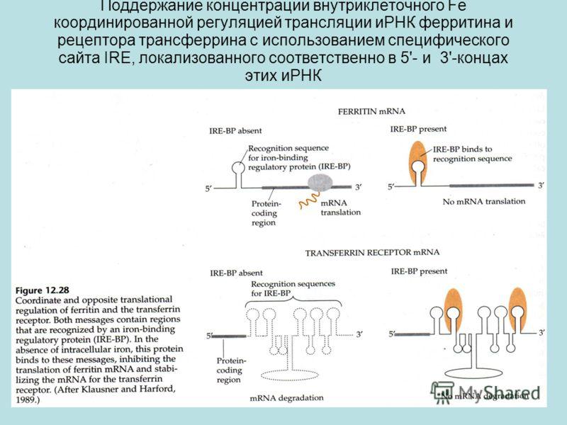 Поддержание концентрации внутриклеточного Fe координированной регуляцией трансляции иРНК ферритина и рецептора трансферрина с использованием специфического сайта IRE, локализованного соответственно в 5'- и 3'-концах этих иРНК