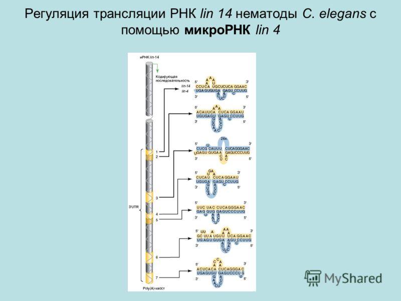 Регуляция трансляции РНК lin 14 нематоды C. elegans c помощью микроРНК lin 4