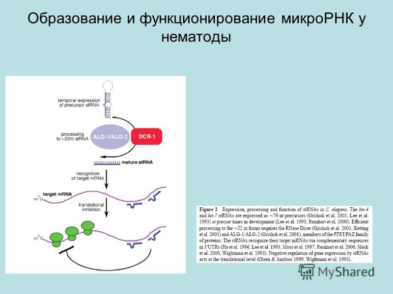 Образование и функционирование микроРНК у нематоды