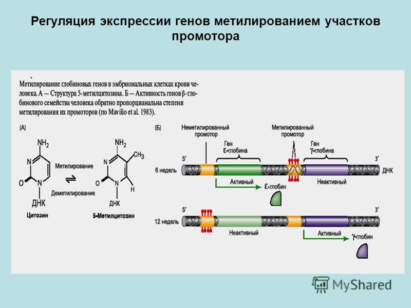 Регуляция экспрессии генов метилированием участков промотора