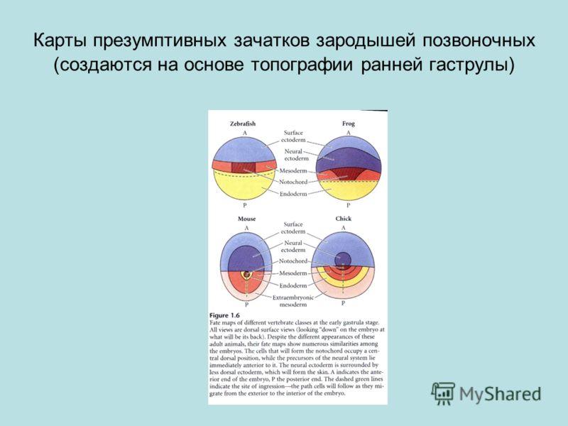 Карты презумптивных зачатков зародышей позвоночных (создаются на основе топографии ранней гаструлы)