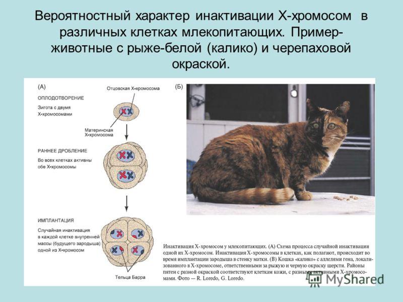 Вероятностный характер инактивации X-хромосом в различных клетках млекопитающих. Пример- животные с рыже-белой (калико) и черепаховой окраской.