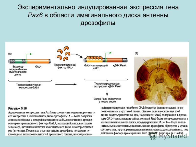 Экспериментально индуцированная экспрессия гена Pax6 в области имагинального диска антенны дрозофилы
