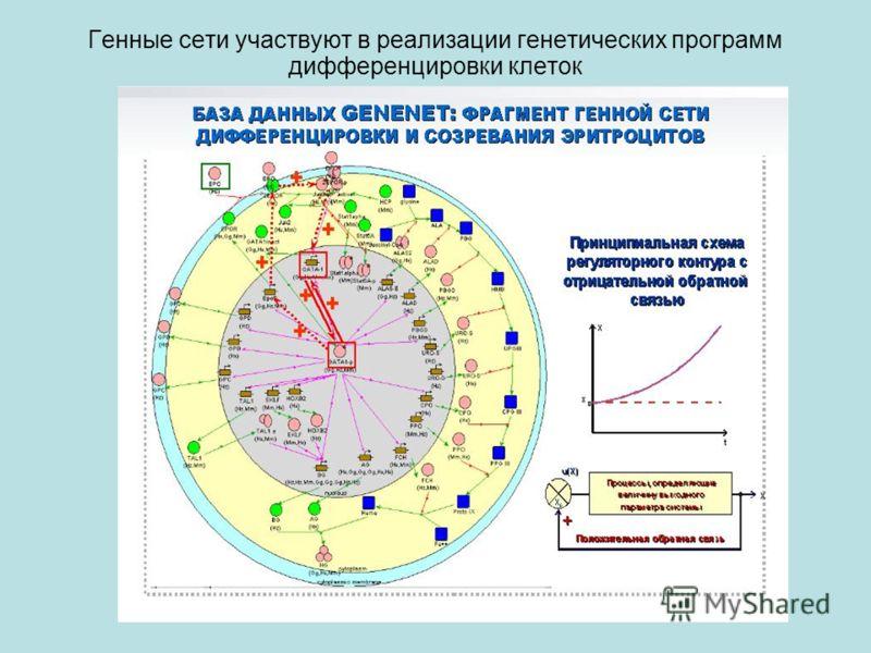 Генные сети участвуют в реализации генетических программ дифференцировки клеток