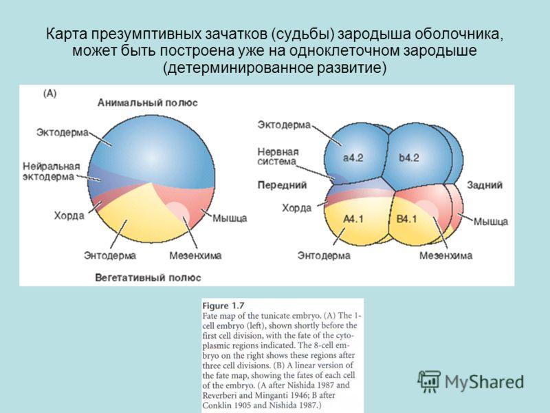 Карта презумптивных зачатков (судьбы) зародыша оболочника, может быть построена уже на одноклеточном зародыше (детерминированное развитие)