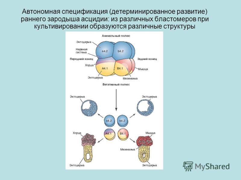 Автономная спецификация (детерминированное развитие) раннего зародыша асцидии: из различных бластомеров при культивировании образуются различные структуры