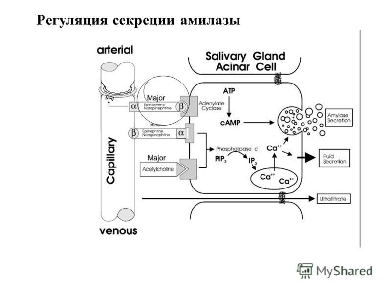 Регуляция секреции амилазы