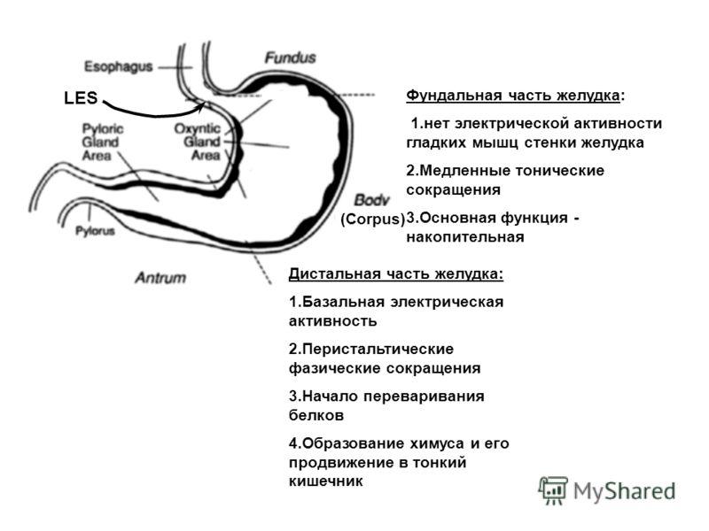 (Corpus) LES Фундальная часть желудка: 1.нет электрической активности гладких мышц стенки желудка 2.Медленные тонические сокращения 3.Основная функция - накопительная Дистальная часть желудка: 1.Базальная электрическая активность 2.Перистальтические