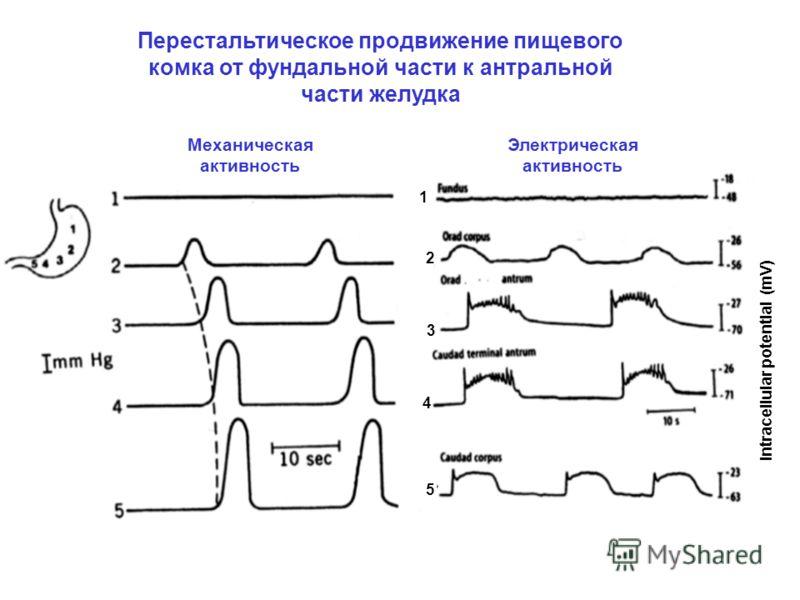Intracellular potential (mV) 1 2 3 4 5 Перестальтическое продвижение пищевого комка от фундальной части к антральной части желудка Механическая активность Электрическая активность