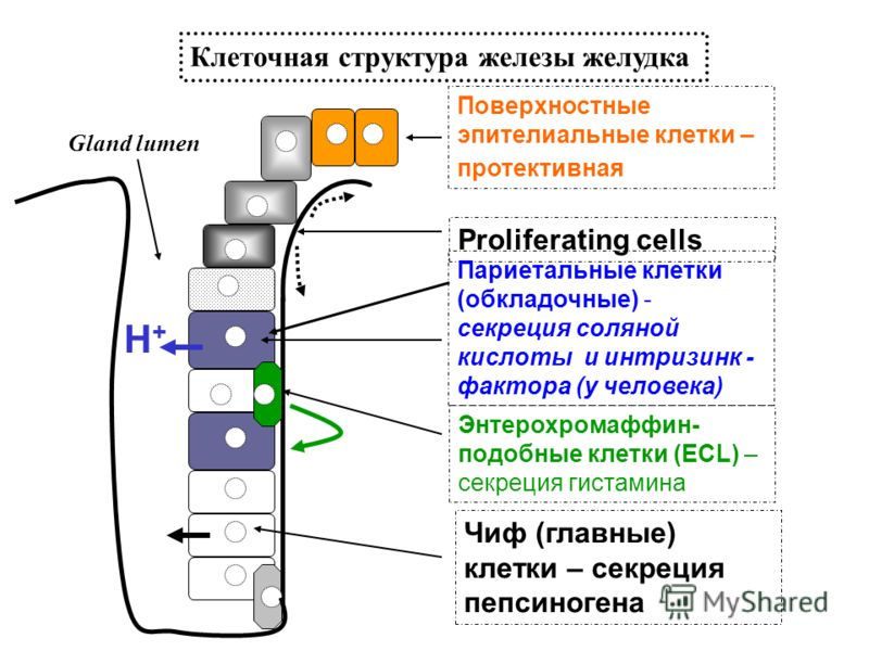 Поверхностные эпителиальные клетки – протективная Proliferating cells Париетальные клетки (обкладочные) - секреция соляной кислоты и интризинк - фактора (у человека) Чиф (главные) клетки – секреция пепсиногена Энтерохромаффин- подобные клетки (ECL) –