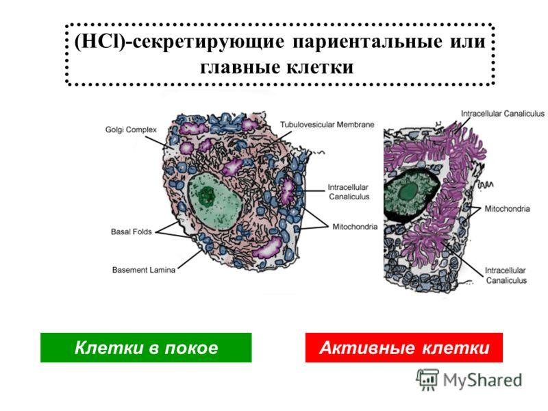 (HCl)-секретирующие париентальные или главные клетки Клетки в покоеАктивные клетки