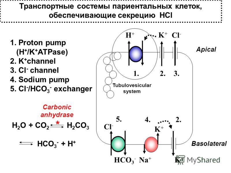 Транспортные состемы париентальных клеток, обеспечивающие секрецию HCl K+K+ H+H+ Cl - HCO 3 - K+K+ Na + K+K+ 1. Proton pump (H + /K + ATPase) 2. K + channel 3. Cl - channel 4. Sodium pump 5. Cl - /HCO 3 - exchanger 1.2.3. 2.4. 5. H 2 O + CO 2 H 2 CO