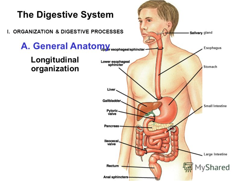 gland Stomach Small Intestine Esophagus Large Intestine The Digestive System I. ORGANIZATION & DIGESTIVE PROCESSES A. General Anatomy Longitudinal organization
