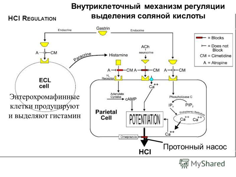 Энтерохромафинные клетки продуцируют и выделяют гистамин Внутриклеточный механизм регуляции выделения соляной кислоты Протонный насос