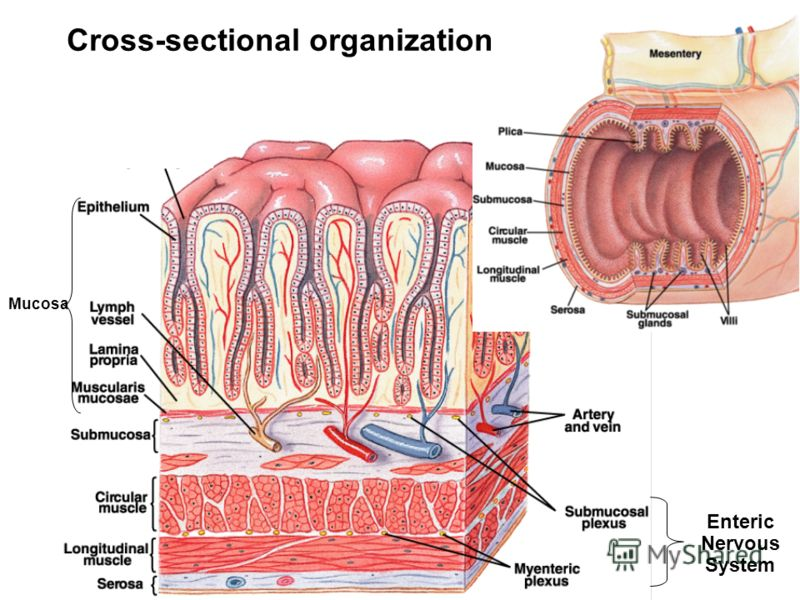 Cross-sectional organization Mucosa Enteric Nervous System