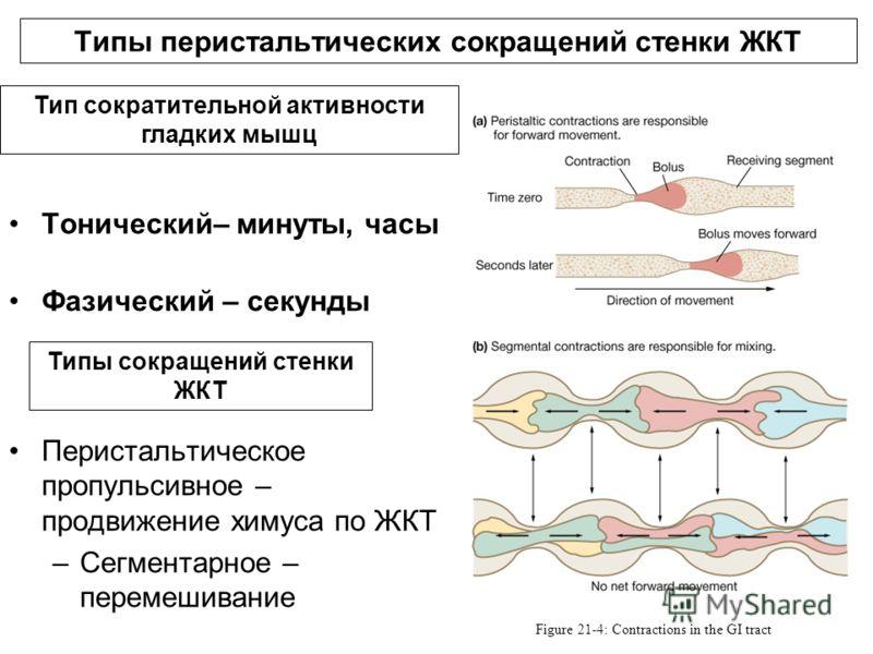 Типы перистальтических сокращений стенки ЖКТ Figure 21-4: Contractions in the GI tract Тонический– минуты, часы Фазический – секунды Перистальтическое пропульсивное – продвижение химуса по ЖКТ –Сегментарное – перемешивание Тип сократительной активнос