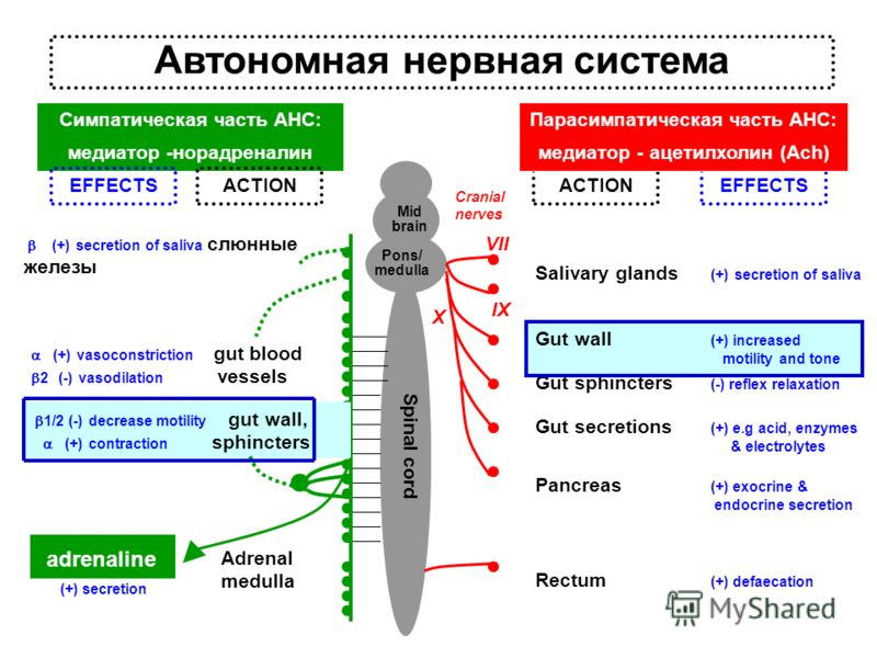 Автономная нервная система Симпатическая часть АНС: медиатор -норадреналин Gut secretions (+) e.g acid, enzymes & electrolytes Spinal cord Pons/ medulla Mid brain Gut sphincters (-) reflex relaxation Pancreas (+) exocrine & endocrine secretion ACTION