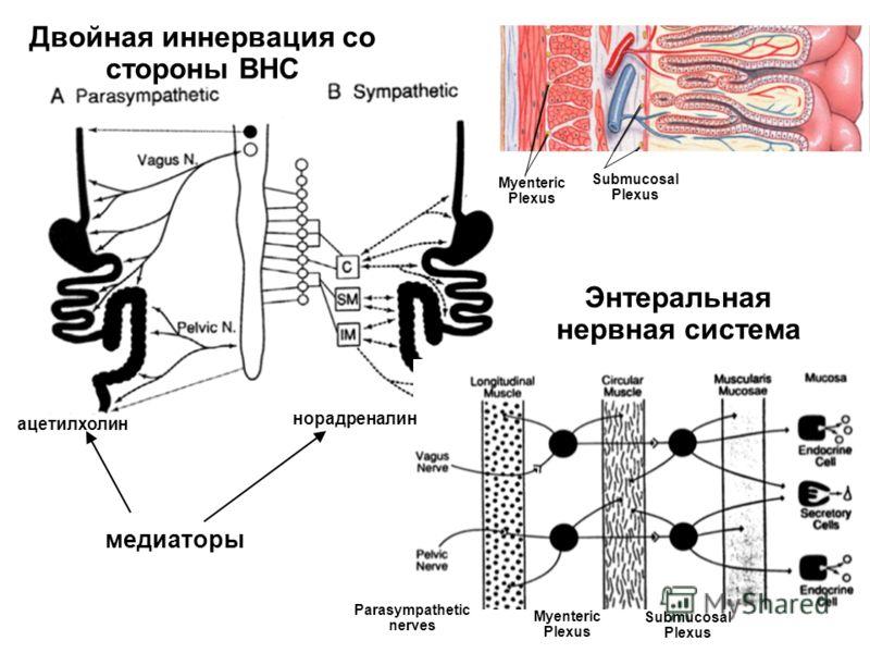 Parasympathetic nerves Submucosal Plexus Myenteric Plexus Энтеральная нервная система Myenteric Plexus Submucosal Plexus Двойная иннервация со стороны ВНС медиаторы ацетилхолин норадреналин
