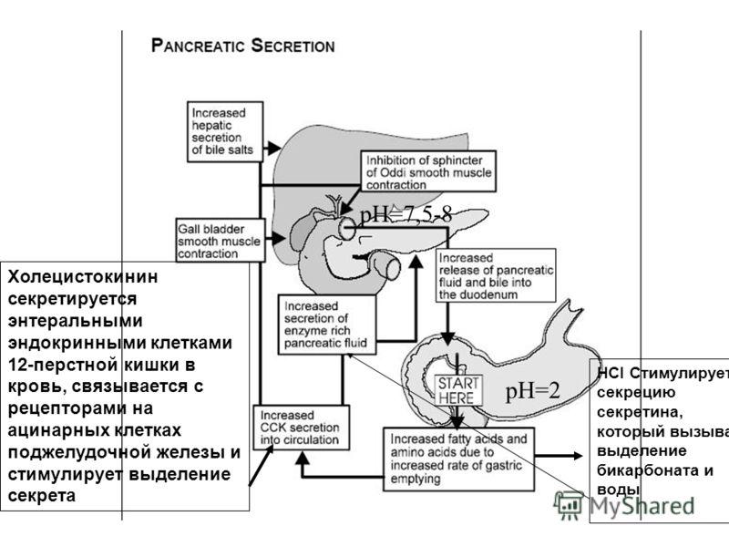 Холецистокинин секретируется энтеральными эндокринными клетками 12-перстной кишки в кровь, связывается с рецепторами на ацинарных клетках поджелудочной железы и стимулирует выделение секрета HCI Стимулирует секрецию секретина, который вызывает выделе