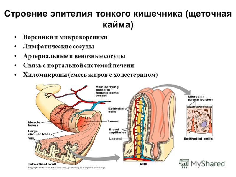 Строение эпителия тонкого кишечника (щеточная кайма) Ворсинки и микроворсинки Лимфатические сосуды Артериальные и венозные сосуды Связь с портальной системой печени Хиломикроны (смесь жиров с холестерином)