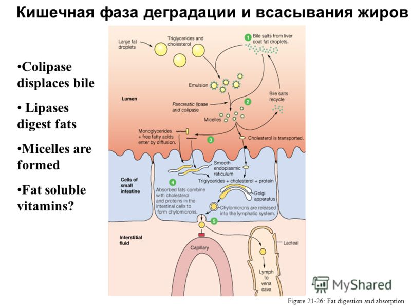 Кишечная фаза деградации и всасывания жиров Figure 21-26: Fat digestion and absorption Colipase displaces bile Lipases digest fats Micelles are formed Fat soluble vitamins?