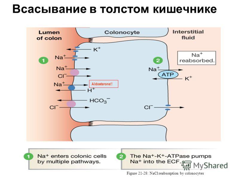 Всасывание в толстом кишечнике Figure 21-28: NaCl reabsorption by colonocytes Aldosterone!!
