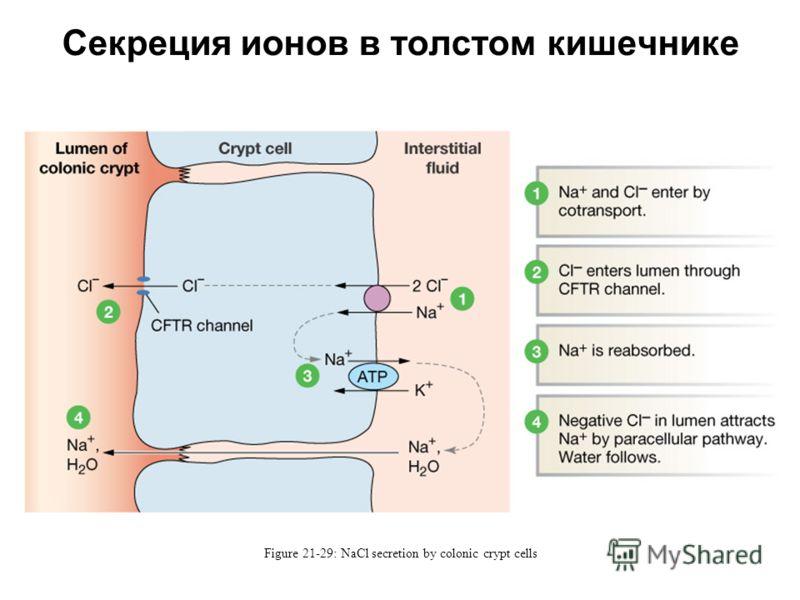 Секреция ионов в толстом кишечнике Figure 21-29: NaCl secretion by colonic crypt cells