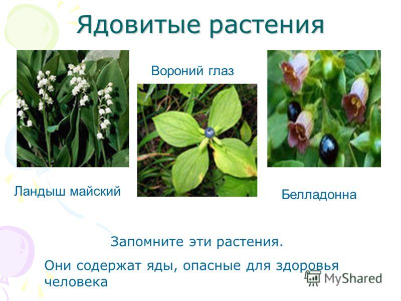 Ядовитые растения Ландыш майский Вороний глаз Белладонна Запомните эти растения. Они содержат яды, опасные для здоровья человека