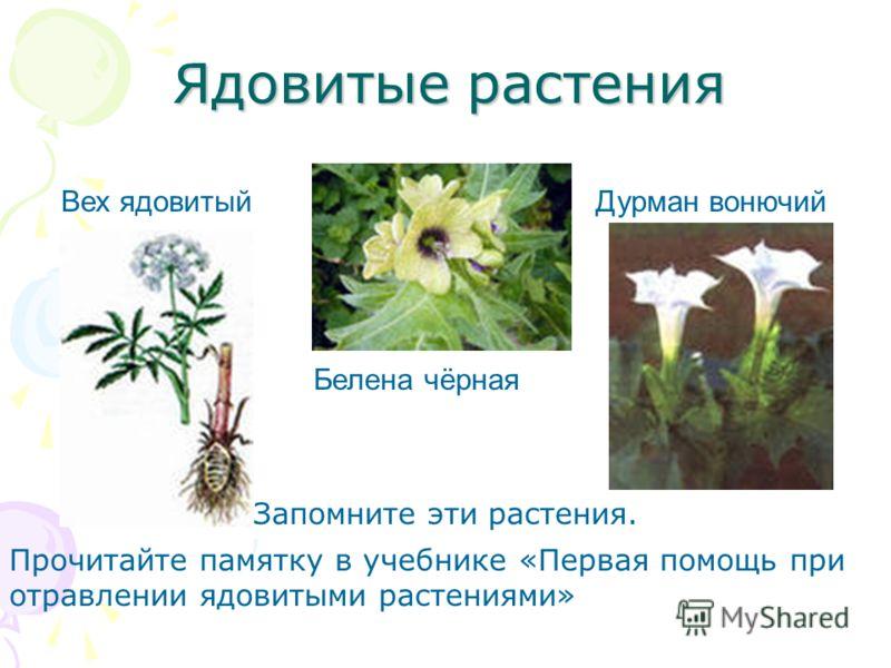 Ядовитые растения Вех ядовитый Белена чёрная Дурман вонючий Запомните эти растения. Прочитайте памятку в учебнике «Первая помощь при отравлении ядовитыми растениями»