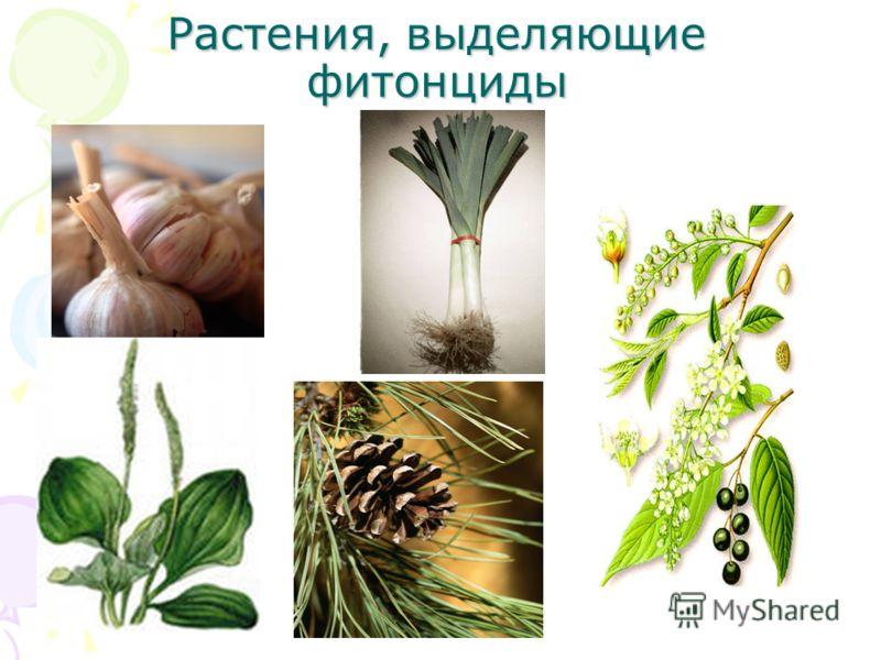 Растения, выделяющие фитонциды