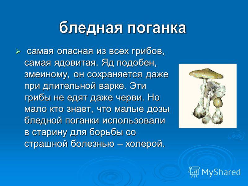 самая опасная из всех грибов, самая ядовитая. Яд подобен, змеиному, он сохраняется даже при длительной варке. Эти грибы не едят даже черви. Но мало кто знает, что малые дозы бледной поганки использовали в старину для борьбы со страшной болезнью – хол