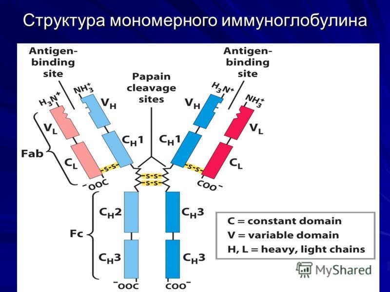 Структура мономерного иммуноглобулина