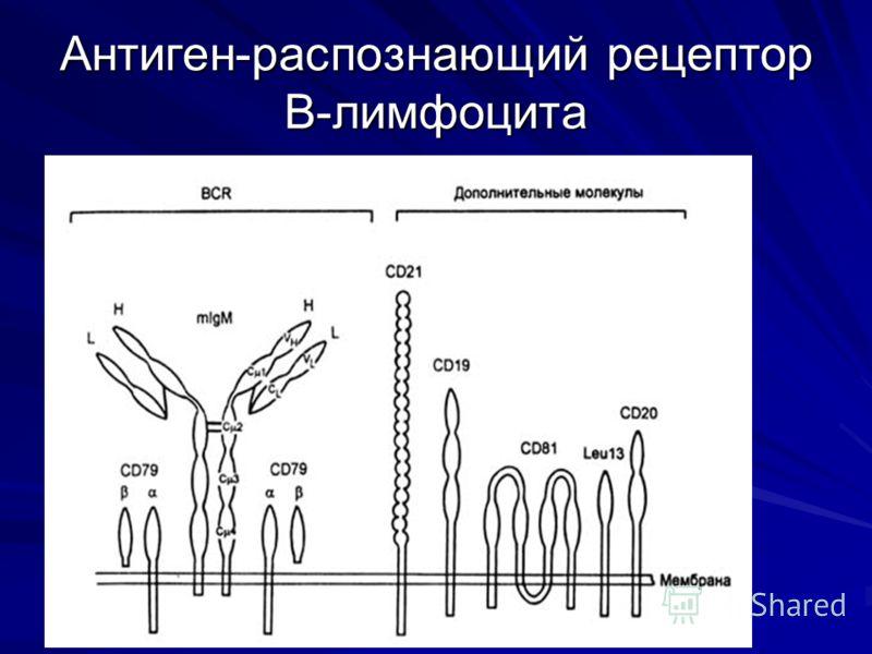 Антиген-распознающий рецептор В-лимфоцита