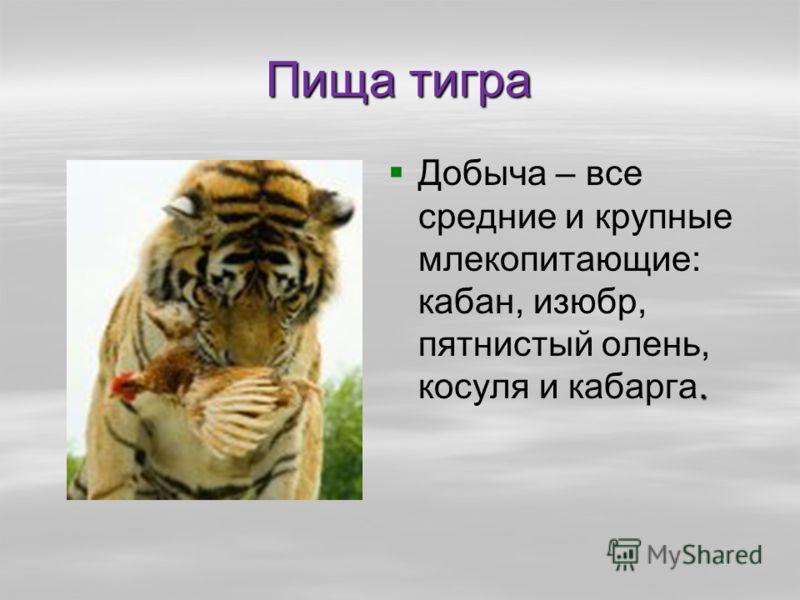 Пища тигра. Добыча – все средние и крупные млекопитающие: кабан, изюбр, пятнистый олень, косуля и кабарга.