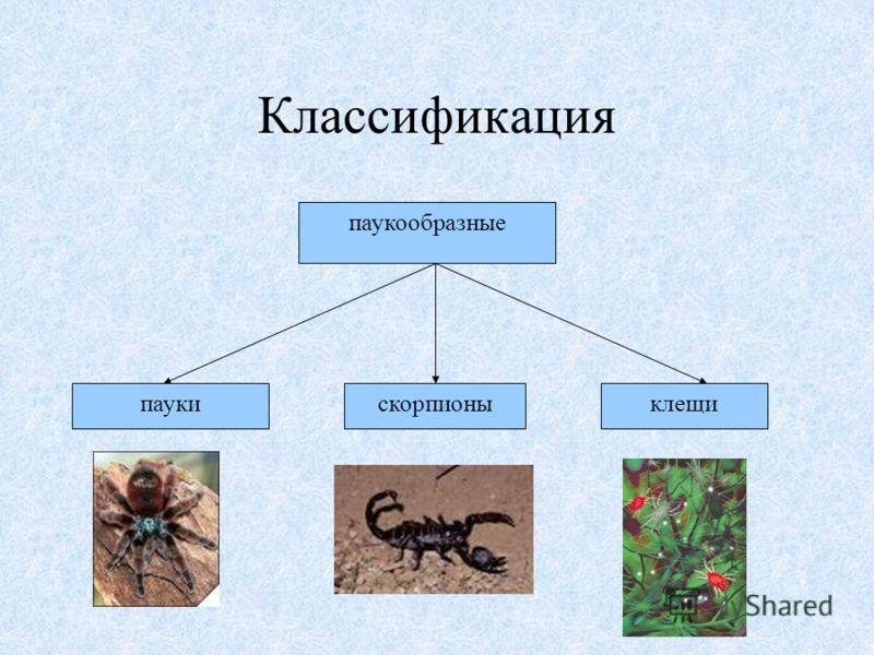 паукообразные клещискорпионыпауки Классификация