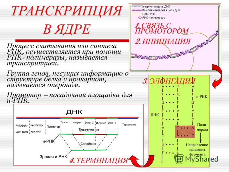 ТРАНСКРИПЦИЯ В ЯДРЕ Процесс считывания или синтеза РНК, осуществляется при помощи РНК - полимеразы, называется транскрипцией. Группа генов, несущих информацию о структуре белка у прокариот, называется опероном. Промотор – посадочная площадка для и -