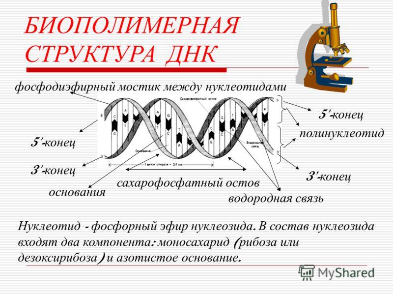 БИОПОЛИМЕРНАЯ СТРУКТУРА ДНК фосфодиэфирный мостик между нуклеотидами основания водородная связь полинуклеотид Нуклеотид - фосфорный эфир нуклеозида. В состав нуклеозида входят два компонента : моносахарид ( рибоза или дезоксирибоза ) и азотистое осно