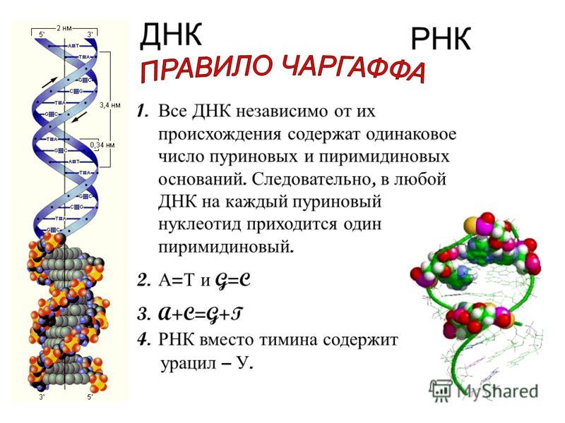 ДНК РНК 1. Все ДНК независимо от их происхождения содержат одинаковое число пуриновых и пиримидиновых оснований. Следовательно, в любой ДНК на каждый пуриновый нуклеотид приходится один пиримидиновый. 2. А = Т и G=C 3.A+C=G+T 4. РНК вместо тимина сод