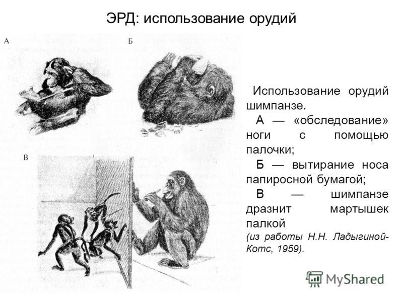 Использование орудий шимпанзе. А «обследование» ноги с помощью палочки; Б вытирание носа папиросной бумагой; В шимпанзе дразнит мартышек палкой (из работы Н.Н. Ладыгиной- Котс, 1959). ЭРД: использование орудий