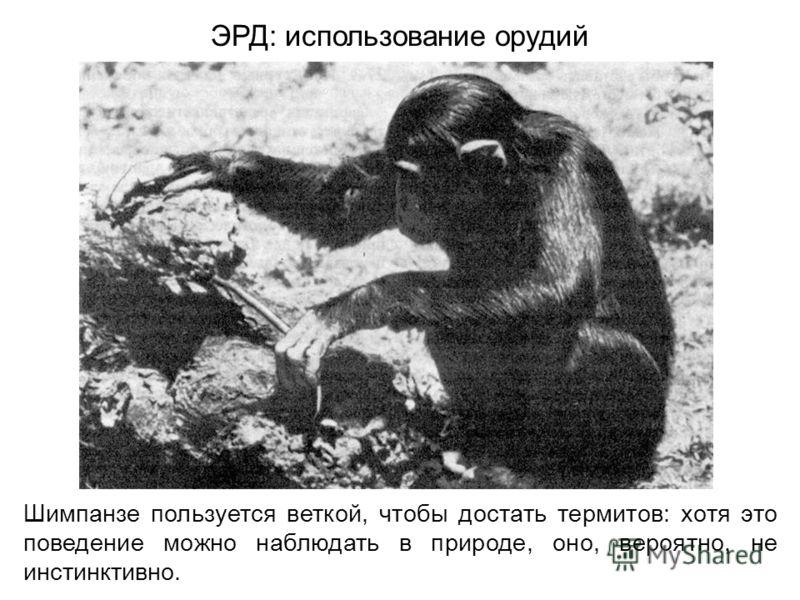 Шимпанзе пользуется веткой, чтобы достать термитов: хотя это поведение можно наблюдать в природе, оно, вероятно, не инстинктивно. ЭРД: использование орудий