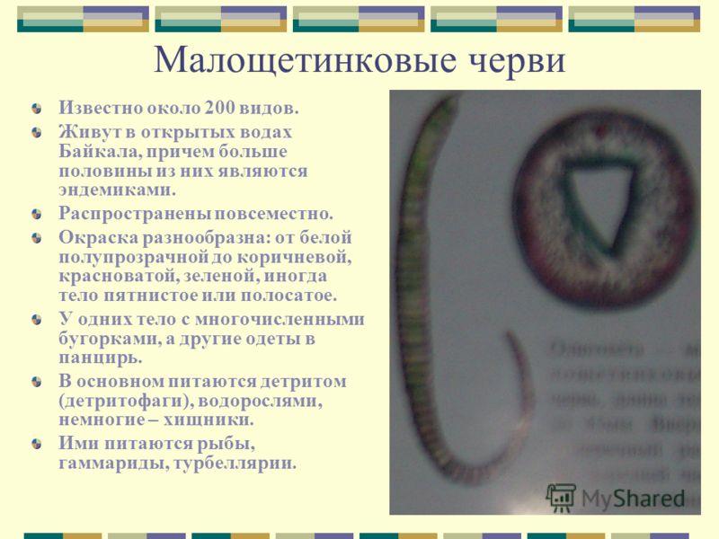 Малощетинковые черви Известно около 200 видов. Живут в открытых водах Байкала, причем больше половины из них являются эндемиками. Распространены повсеместно. Окраска разнообразна: от белой полупрозрачной до коричневой, красноватой, зеленой, иногда те