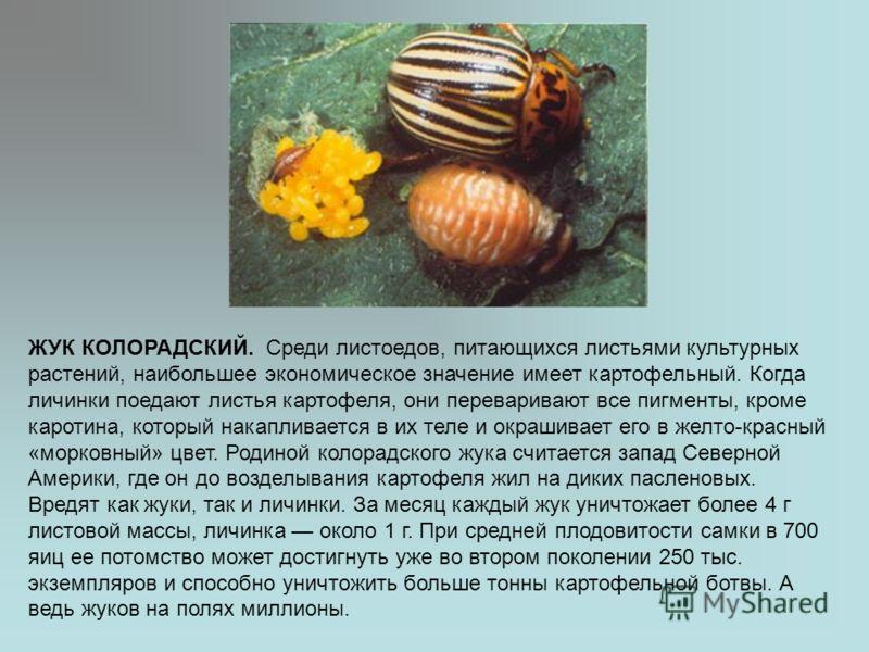 ЖУК КОЛОРАДСКИЙ. Среди листоедов, питающихся листьями культурных растений, наибольшее экономическое значение имеет картофельный. Когда личинки поедают листья картофеля, они переваривают все пигменты, кроме каротина, который накапливается в их теле и