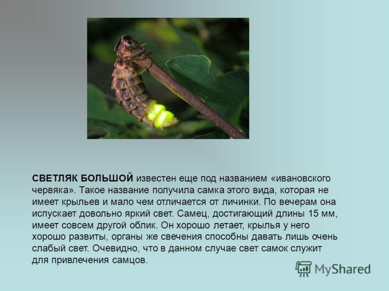 СВЕТЛЯК БОЛЬШОЙ известен еще под названием «ивановского червяка». Такое название получила самка этого вида, которая не имеет крыльев и мало чем отличается от личинки. По вечерам она испускает довольно яркий свет. Самец, достигающий длины 15 мм, имеет