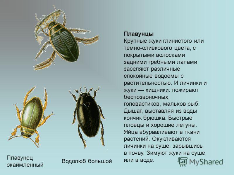 Плавунец окаймлённый Водолюб большой Плавунцы Крупные жуки глинистого или темно-оливкового цвета, с покрытыми волосками задними гребными лапами заселяют различные спокойные водоемы с растительностью. И личинки и жуки хищники: пожирают беспозвоночных,